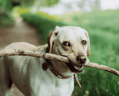golden labrador with a big stick in it's mouth looking to play fetch outside